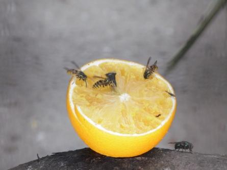 Guèpes sur une orange-Calogero Cassaro